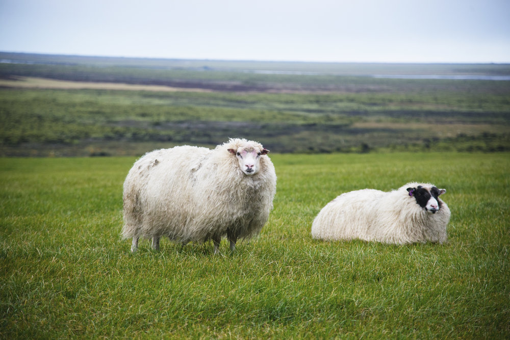 2 Sheep in a Field in Iceland.jpg
