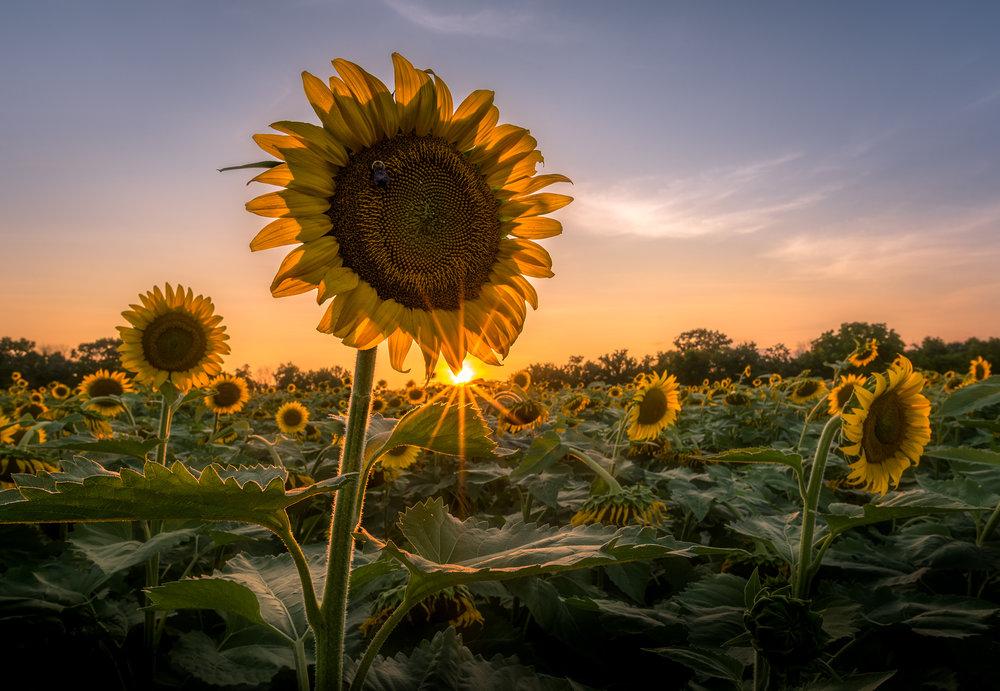 Sunflower Sunburst