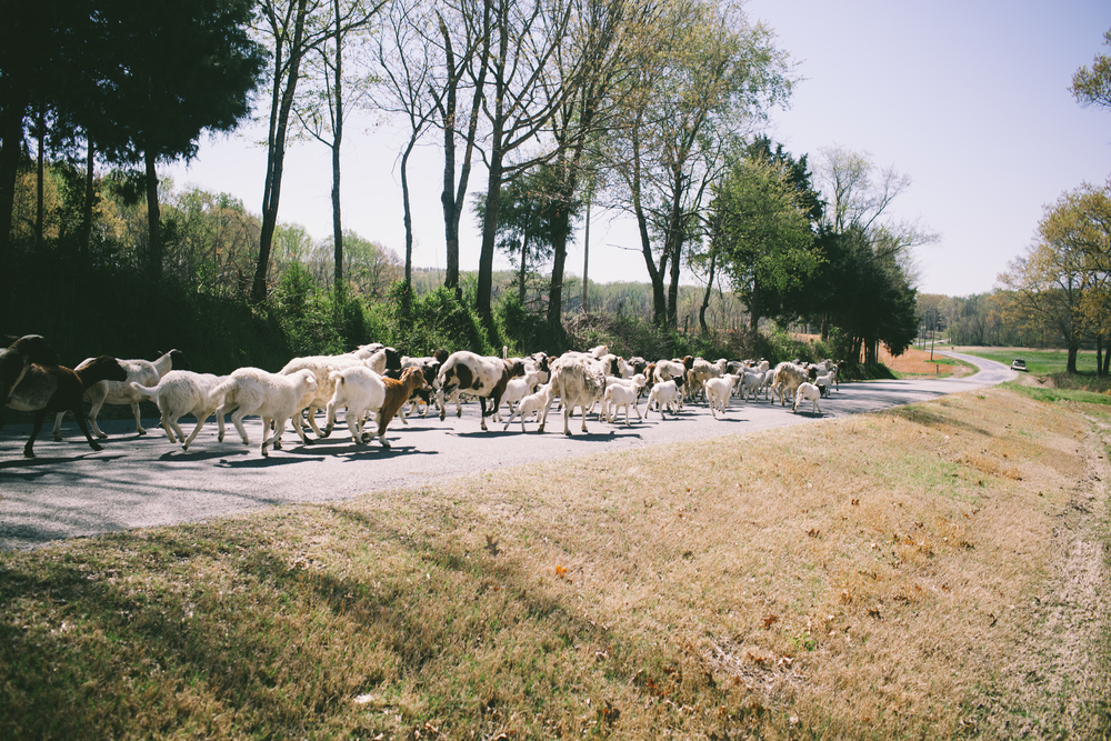 We moved our sheep down the road to our neighbor's front yard!  We only had to stop traffic for a few minutes and chase a few stragglers out of the bushes!