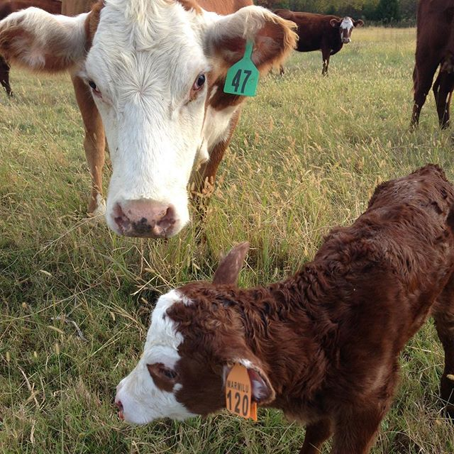 We don't plan for or have fall calves often, but when we do, we are excited about healthy little white faced heifer calves! This was a rare occasion where we gave this open mama cow another shot at motherhood and she rewarded us with this little gal! #afallcalfisbetterthannocalf #southpollcattle #allabouttheladies #growingtheherd #grassfedbeef #marmilufarms