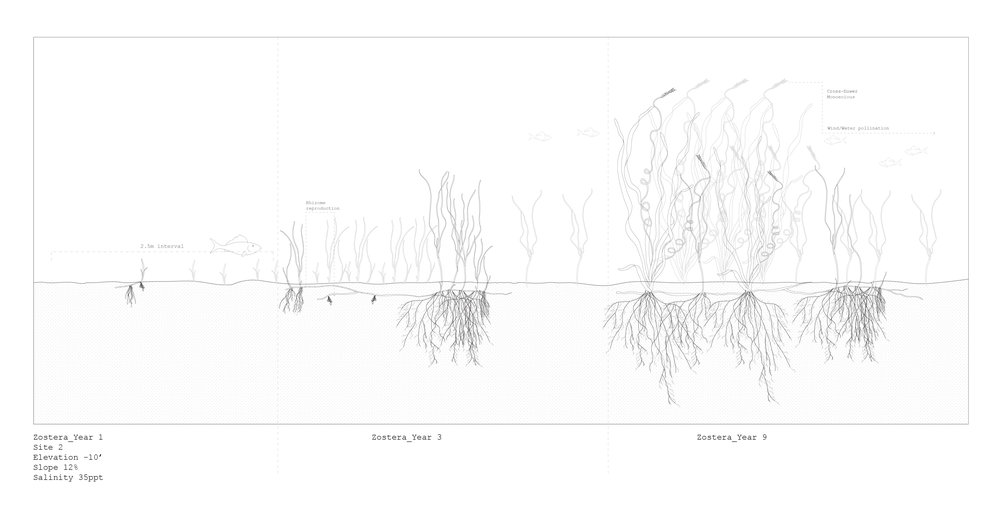 Zostera Marina, Growth Analysis