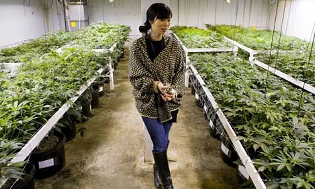 K. Kelly inside her medical cannabis cultivation facility in Denver, Colorado. Photograph: Matthew Staver/Washington Post