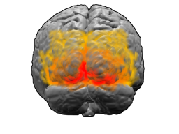 """Above: rear view of the visual cortex (uploaded by """"Washington irving,"""" Wikimedia Commons); Right: visual neural pathway diagram (uploaded by Mads00, Wikimedia Commons)."""