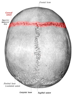 Coronal suture (from Sobotta's Atlas and Text-book of Human Anatomy 1909, Wikimedia Commons)