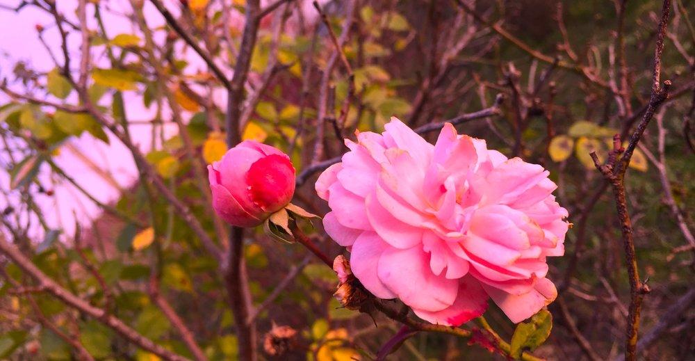 rose  copy more intense.jpg