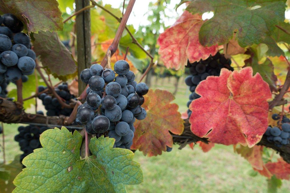 winegrowing-973027.jpg