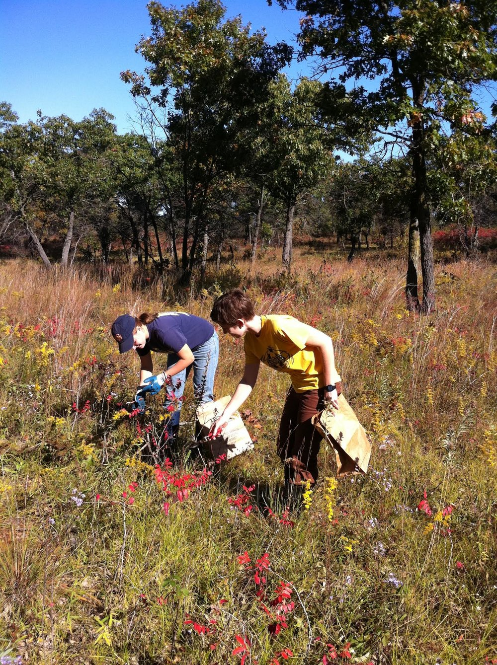 Wild seed collecting from Oak Savanna Illinois USA Photo S Frischie.jpg