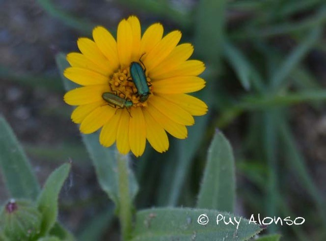 Coccinelidae in Calendula arvensis flower.