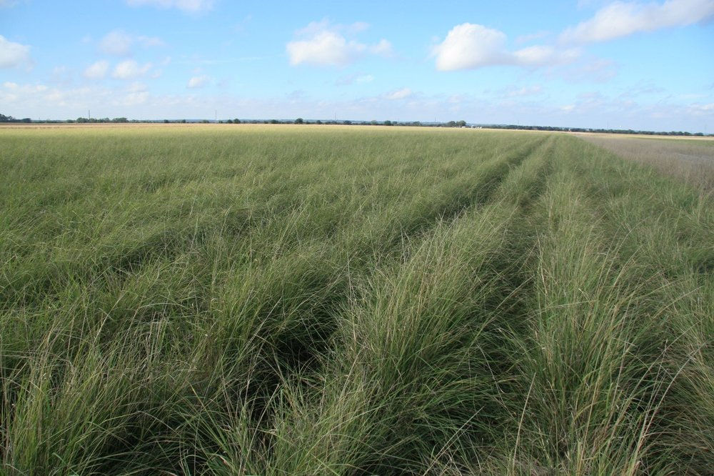 Selections such as Ramadero Germplasm spike lovegrass, are being commercialized by cooperating seed companies such as Douglass King Seed Company for use in Texas – Photo by Forrest Smith.