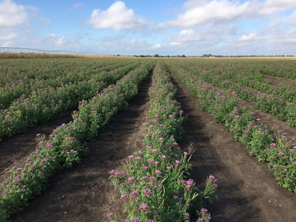 Zapata Rio Grande clammyweed seed production field.