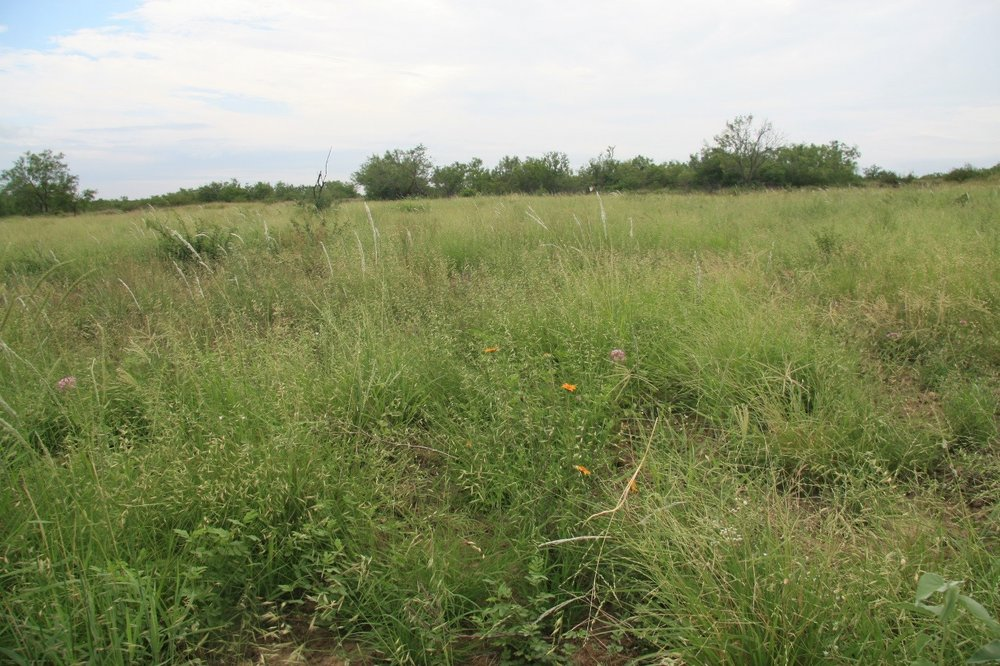 Use of native plants for rangeland restoration has been enabled in many areas of Texas as a result of the TNS effort – Photo by Forrest Smith.