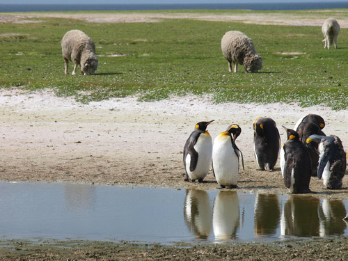falklands conservation: sheep poop and native seeds can be a