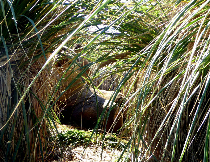Southern Sea-lions shelter in tussac grass making seed collecting exciting!  Photograph: Luke Bullough