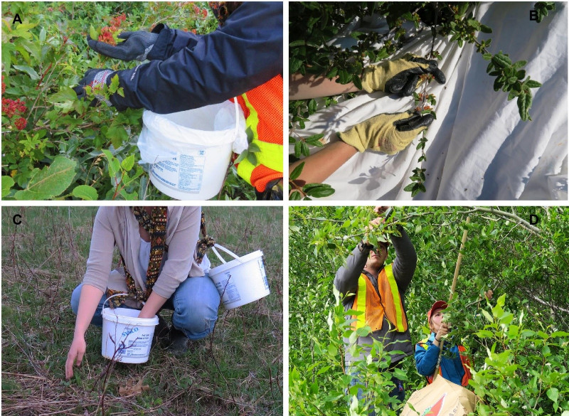 Figure 1. Simple container ideas free up the collectors hands and increase the seed yields. (A) To collect from moderate-sized shrubs, a bucket is tied to the collector leaving both hands to collect the seed. (B) A tarp placed below a bountiful buffaloberry bush increases collection rates. (C) For low growing species, buckets tied to the collector free their hands for collecting. (D) Using a pole with a hook and hand pruners allows for the collection of seed from trees such as poplars into large paper leaf bags.