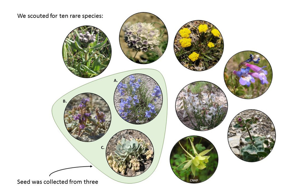 Figure 2. Species scouted and collected in 2017. Left to right, top row:  Saussurea weberi, Ipomopsis globularis, Aletes humilis, Penstemon degeneri . Middle row:  Phacelia gina-glenneae, Penstemon penlandii, Astragalus osterhoutii.  Bottom row:  Physaria bellii, Aquilegia chrysantha  var . rydbergii, Mirabilis rotundifolia.