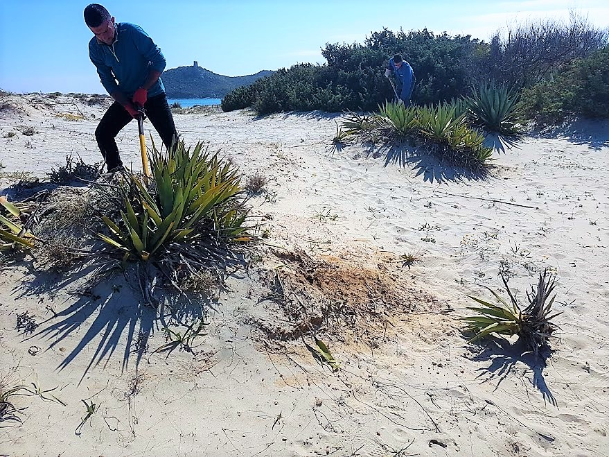 Eradication of  Agave