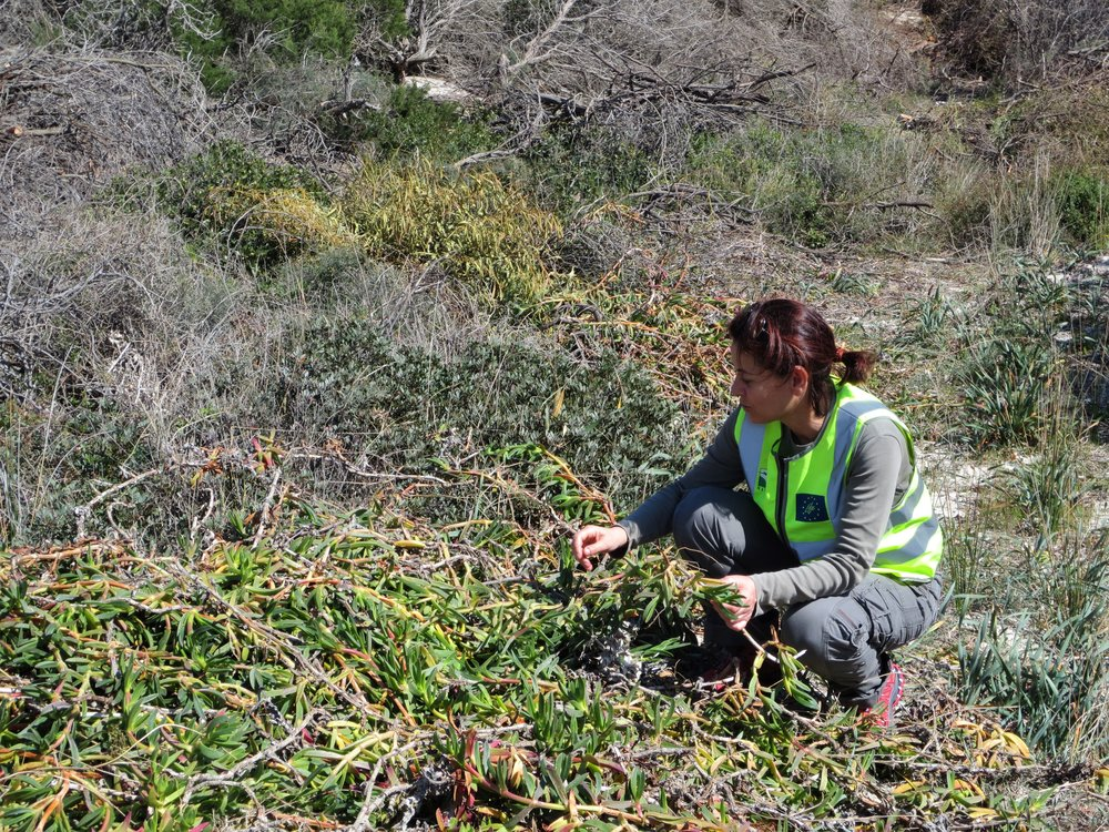 Eradication of  Carpobrotus