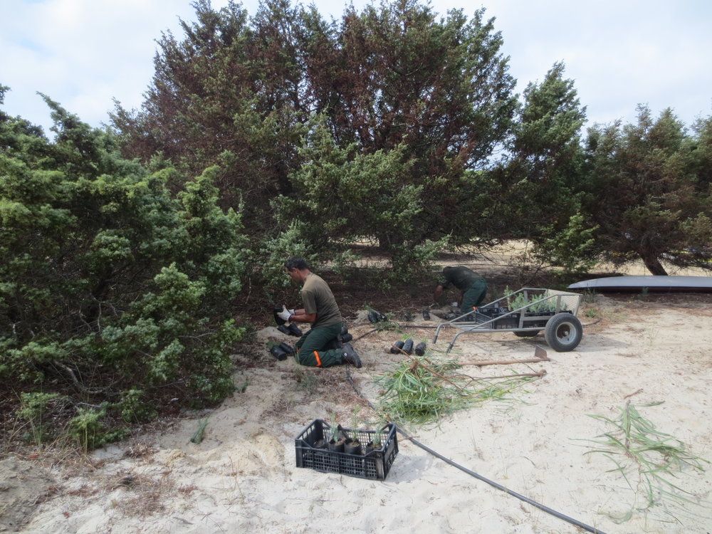 Planting of native species in the sandy coastal dune habitats