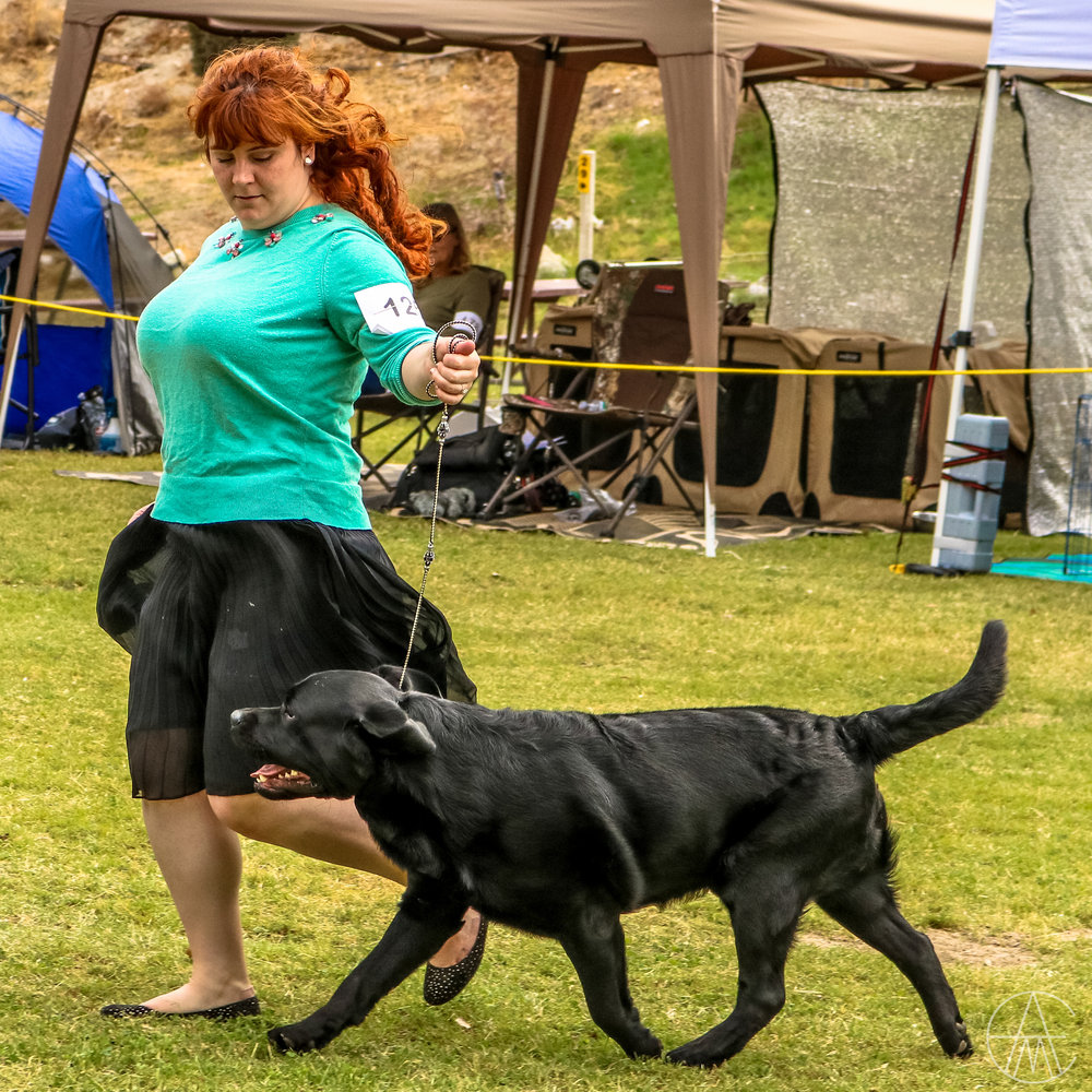 Khan on the move in American Bred Dog on day 1 of the 2017 High Desert Labrador Retriever Club specialty with his handler, Michelle Jace.  Photo courtesy of  Adam Murphy .