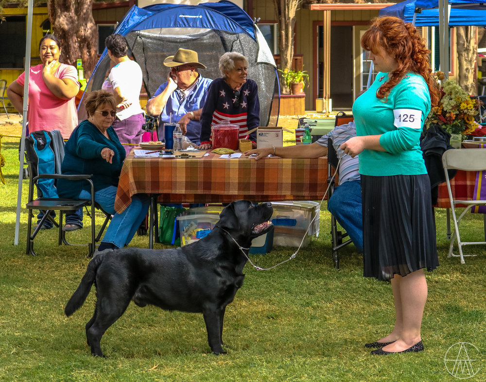 Khan, a few days shy of 19 months, in the ring at High Desert Labrador Retriever Club with his handler, Michelle Jace.  Acton, California, November 11, 2017.  Photo courtesy of  Adam Murphy .