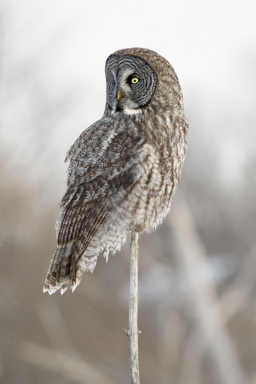 Great Gray Owl on a Stick