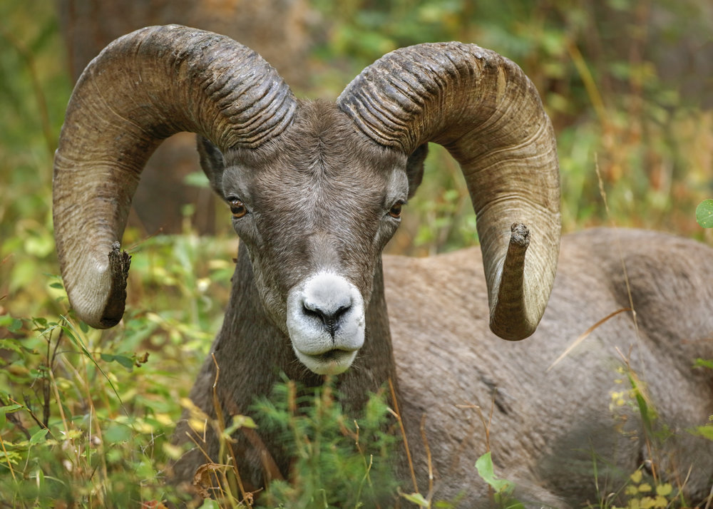 Big Horn Sheep in a Clearing