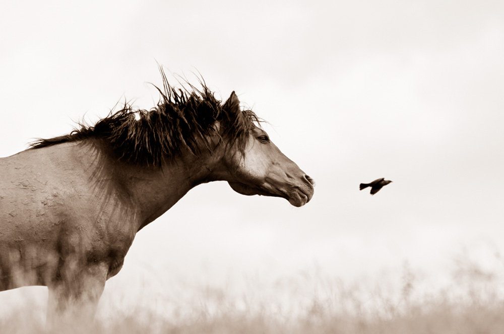 THE FLIGHT OF HONOR BY KIMERLEE CURYL  from $2,475.00  (2010) Photography  Wild Stallion, OR  Limited Edition Print Options:  Print Only  Museum Metallic Print Under Plexiglass  Cotton Rag Print Under White Box Frame  Metal Sublimation  Please allow up to 3 weeks for printing.