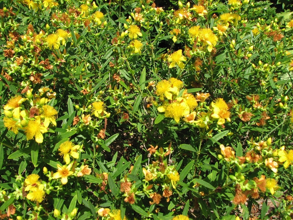 This Hypericum 'Deppe' Sunny Boulevard (St. John's Wort) in bloom is a magnet for bees.