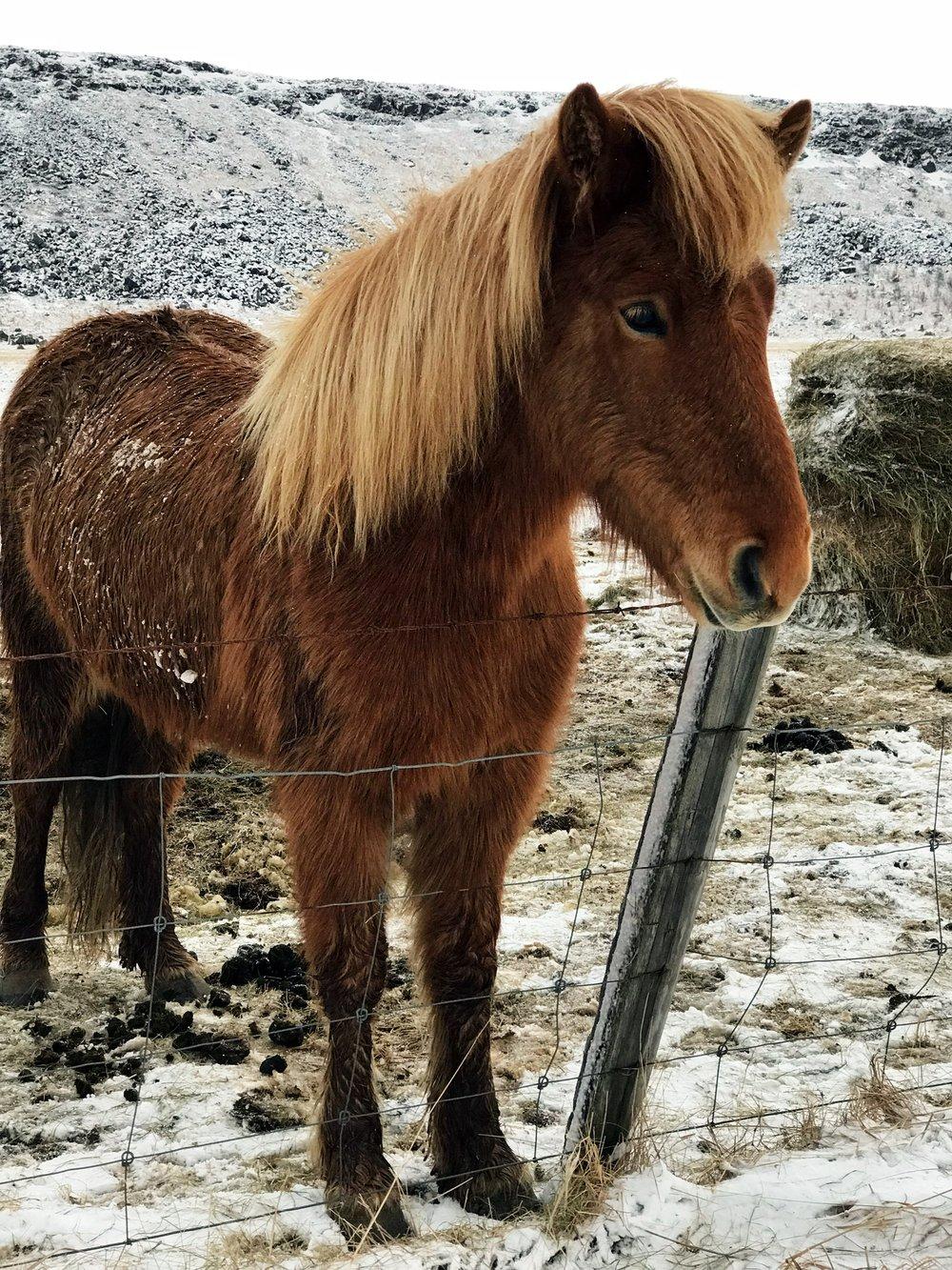 Sweet Icelandic horses