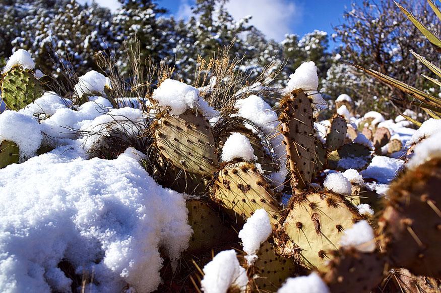 Cactus w Snow