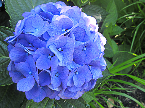 A Hydrangea image taken with a Point and Shoot camera and displayed SOOC