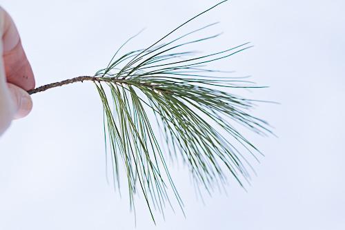 Pine In Fingers.jpg
