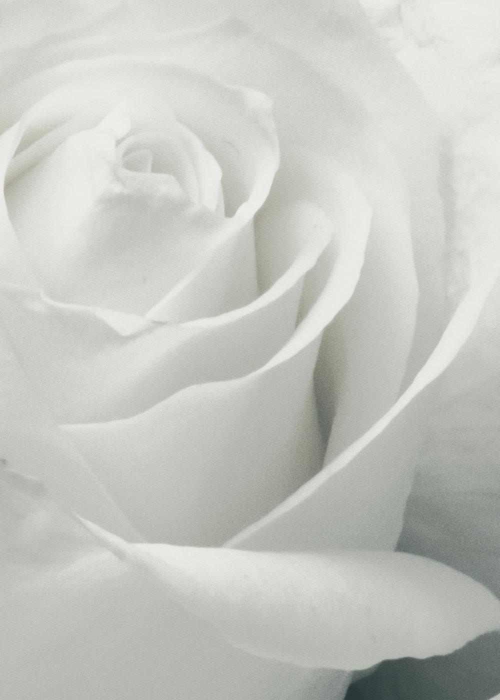 Close Up White Rose  8x10.JPG