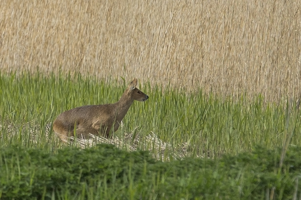Chinese Water Deer, Strumpshaw Fen 2.jpg