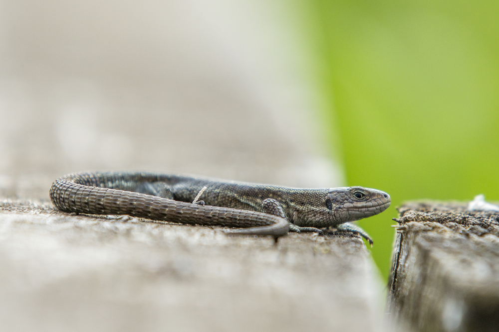 Lizard at Strumshaw Fen.jpg