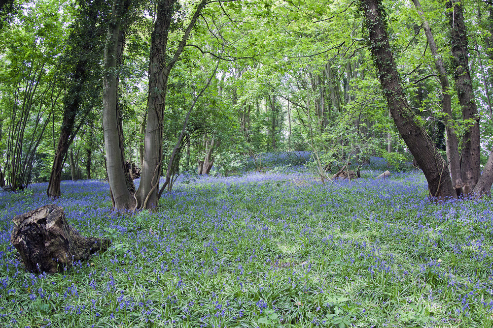 cantley woods bluebells copy.jpg