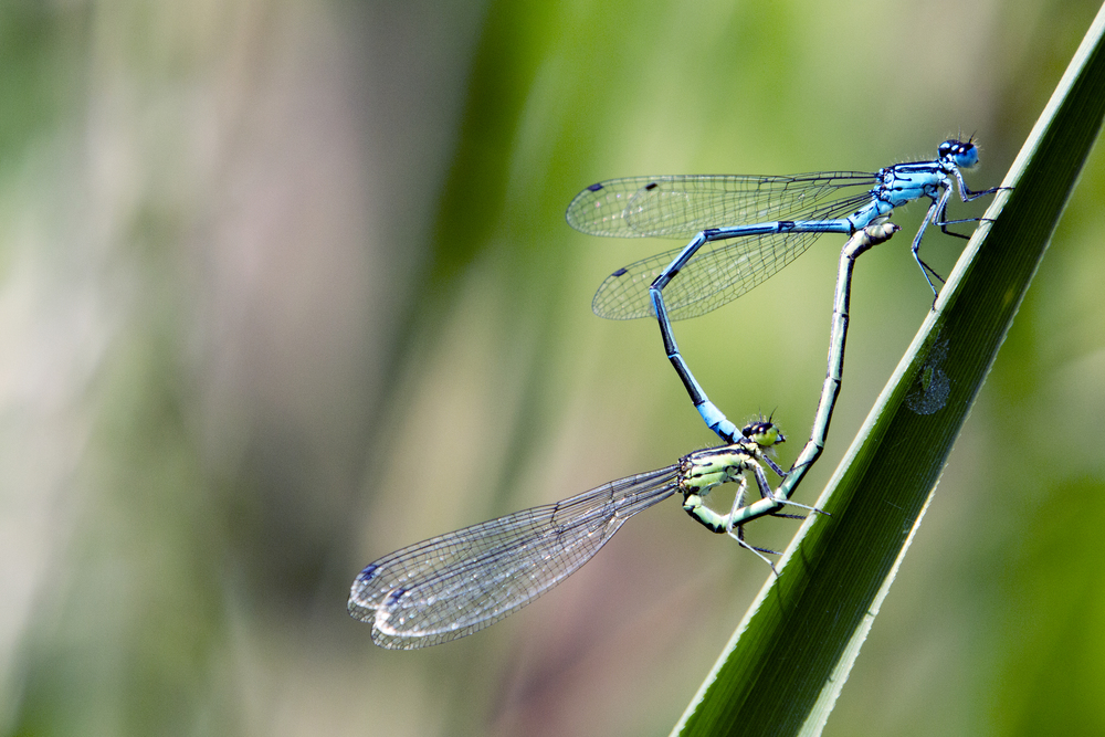 Blue Tailed Damselfly 2.jpg