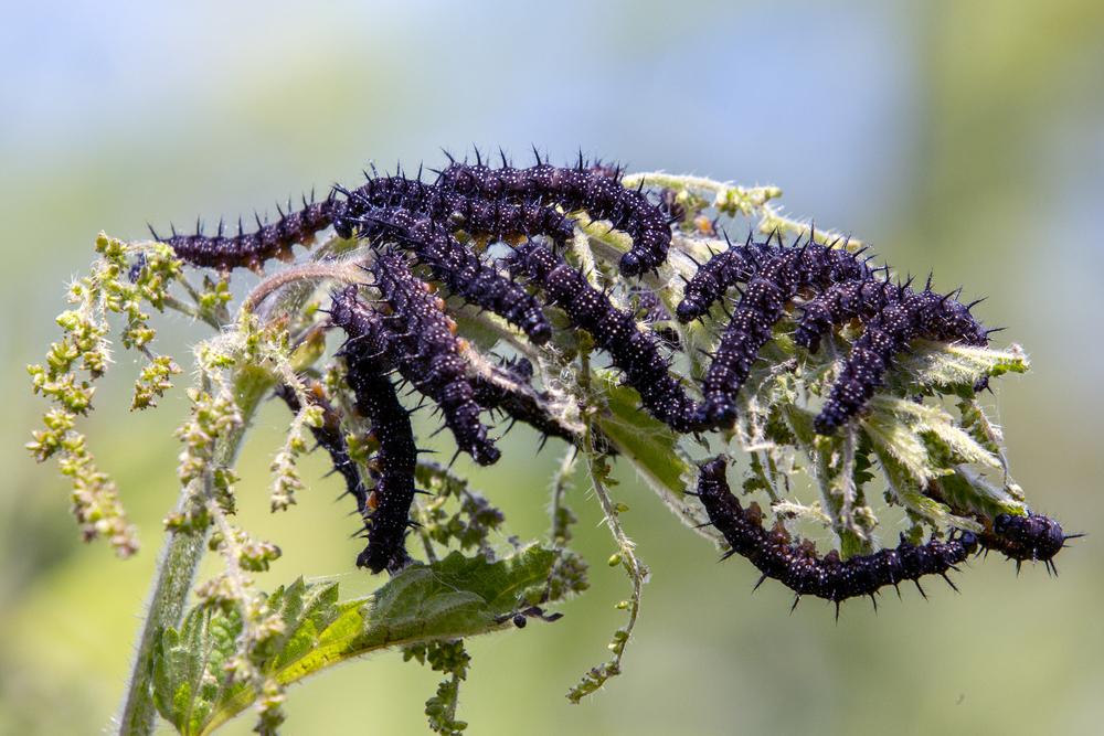 caterpillar 2.jpg