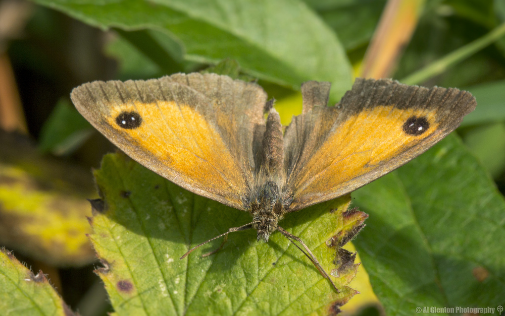 Gatekeeper Butterfly - Pyronia Tithonus