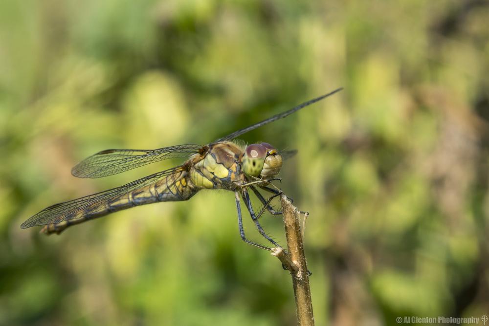 Female Ruddy Darter - Sympetrum Sanguineum