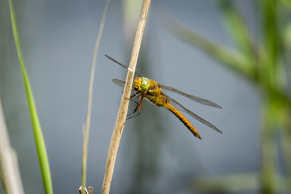 Dragonflies & Damselflies Photography Gallery