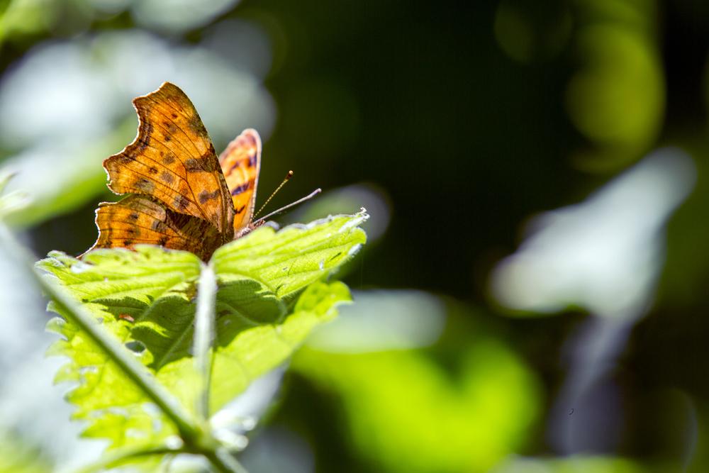 Comma Butterfly.jpg