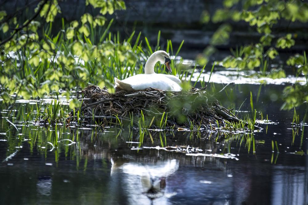 Nesting Swan.jpg