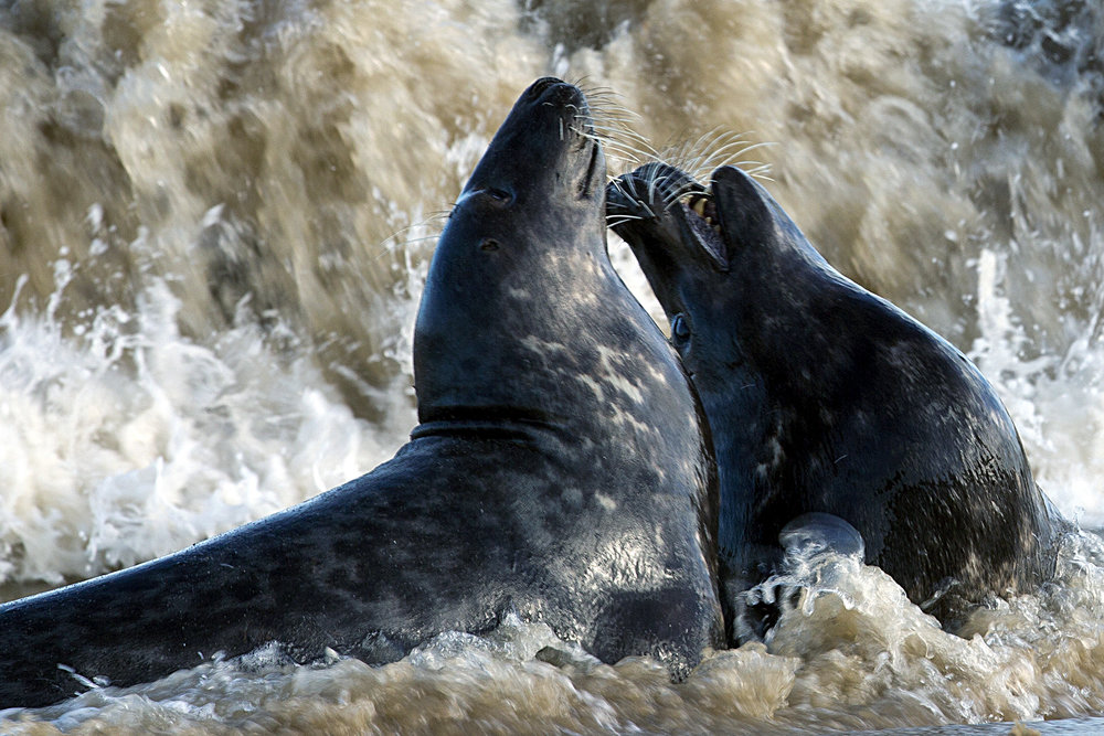 horsey_bull seals fighting.jpg