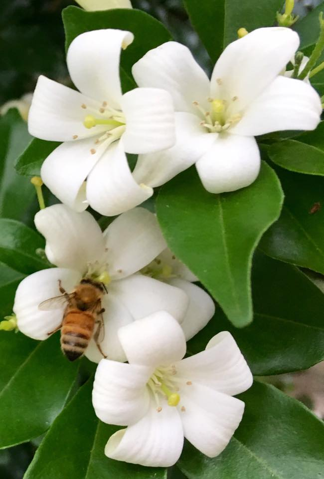mock orange and bee.jpg