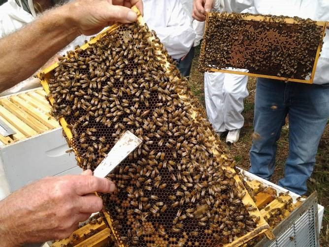 The queen is easily visible above the hive tool