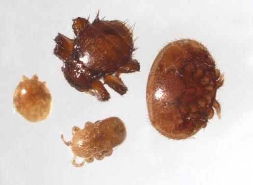 Clockwise from top: Braula fly, varroa mite, tropilaelaps mite and pollen mite.  Image: Food and Environment Agency. Crown Copyright
