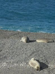 Almost 100% of seals are unemployed in Argentina. Lazy.