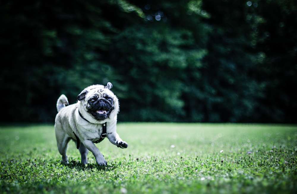 week-25---pug-in-flight_15602678566_o.jpg