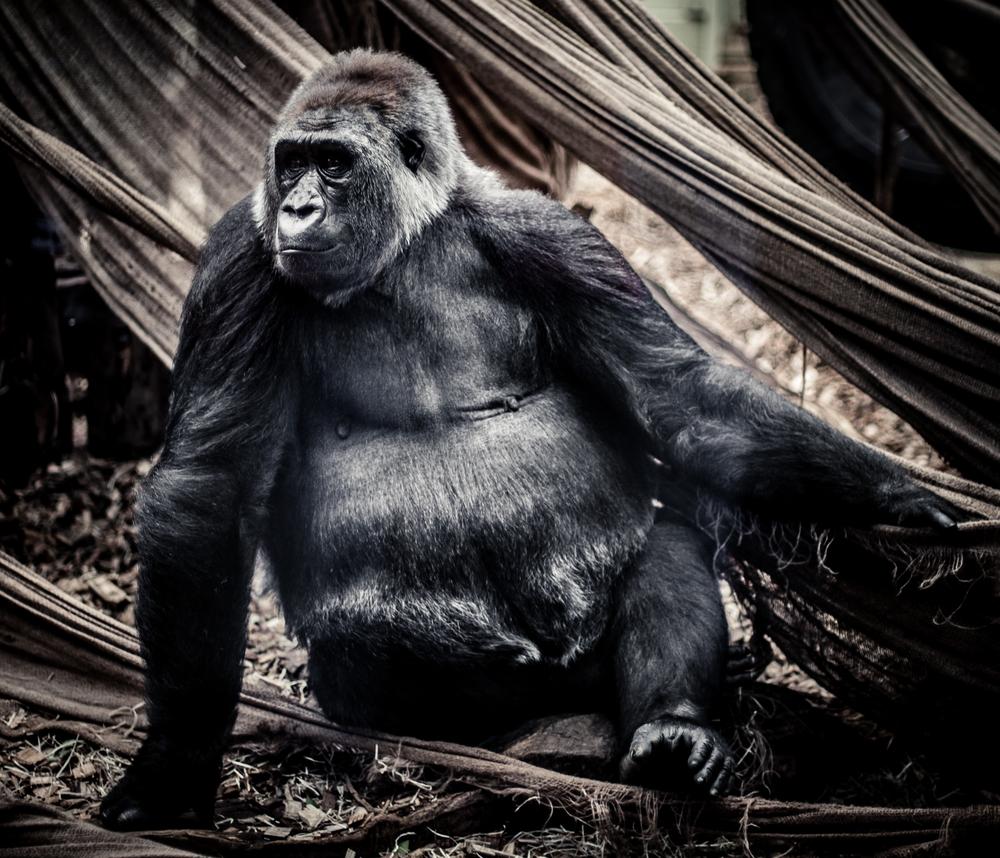 week-35---gorilla_15006277693_o.jpg
